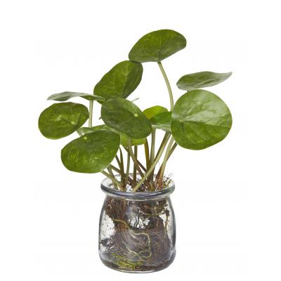 Money Plant-Jar Green/Glass 20cm